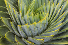 Spiral aloe leaves Royalty Free Stock Photo