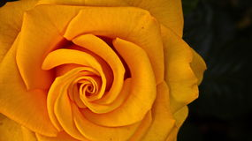 Spiral av rosor Arkivbilder