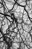 Spiral Branches. A frame full of spiralling branches of a tree Stock Image