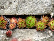 Spiral cactus growth. Row of cacti growing between two rock slabs Royalty Free Stock Image