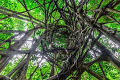 Spiral circuitous tree in national park forest.  Stock Images