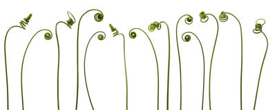 Spiral creeper plant Stock Images