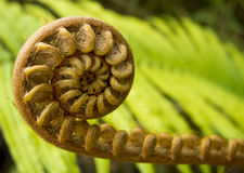 Spiral Fern. Interesting species of fern, as it grow, it keep on spiral stock photography