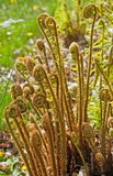 Spiral ferns Royalty Free Stock Images