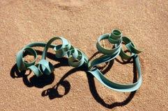 Spiral green plant in desert. Photo was taken in Wadi Rum desert, Jordan Stock Photos