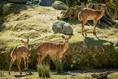 Lowland Nyala Heard. The Spiral-horned antelope native to Southern Africa. It is a species of the family Bovidae and genus Nyala, also considered to be in the Royalty Free Stock Image