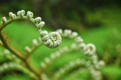 Spiral kształtne paprocie uncurling zdjęcie royalty free