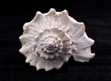 Spiral part of a conch shell. A close up image of a conch shell on a black background royalty free stock photos