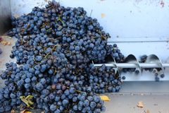 Spiral press for crushing grapes. Bunch of black hamburg stock photography