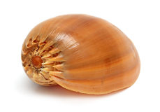 Spiral sea shell close-up Royalty Free Stock Photo