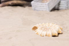 Spiral sea shell lying on beach sand. Single decorative spiral sea shell lying on beach sand in a marine or nautical themed display or exhibit with copyspace Royalty Free Stock Photography