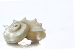 spiral sea shell macro Royalty Free Stock Image