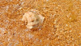 Spiral sea shell on the sand covered with shallow water top view.  stock video