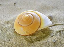 Spiral sea shell. In sand beautiful Stock Photography