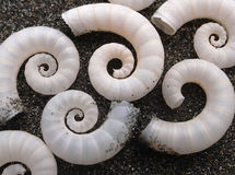 Spiral sea shells Royalty Free Stock Photo
