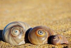 Spiral Sea Shells Royalty Free Stock Photos
