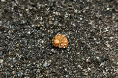 Spiral seashell on stone. Spiral orange seashell on grey stone background on a beach Royalty Free Stock Photography
