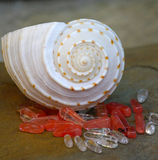 Spiral Seashell and Stones. White spiral seashell with coral stones Stock Photo