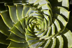 Spiral shaped succulent plant Stock Images