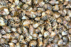 Spiral shell. Beautiful as background and raw material in dishes Stock Image