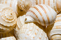 Spiral shells. Royalty Free Stock Images