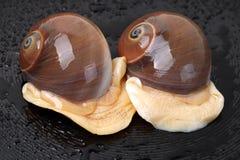 Spiral shells Royalty Free Stock Photos