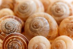Spiral snail shells. Gastropod shells. Macro, closeup. Stock Photos
