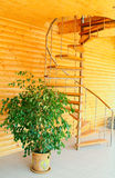 Spiral staircase and ficus. Royalty Free Stock Image