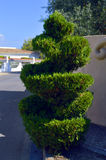 Spiral Topiary conifer Royalty Free Stock Photos