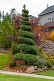 Spiral Topiary Tree in Home Front Yard stock photo