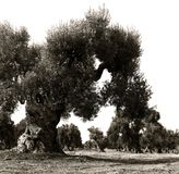 spiral trunks of old olive trees in an Italian garden stock images