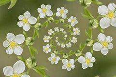 Spirala blommajordgubbar Arkivfoto