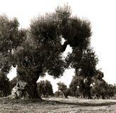 spirala stammar av gamla olivträd i en italienare arbeta i trädgården Arkivbilder