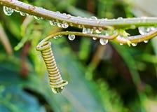 Spirala wąsy pełzacza roślina obrazy stock
