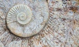 Spirale d'ammonite Image libre de droits