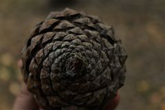 Spirale della pigna Fotografia Stock Libera da Diritti