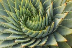 Spirale delle foglie dei cactus Immagini Stock Libere da Diritti
