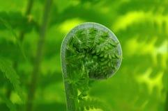 Spirale di giovane felce in primavera, primo piano Immagini Stock