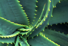Spiraled and Spiked Aloe Vera Leaves. Spiraling and spiked, these aloe leaves fill the frame. Each leaf of this succulent plant is rimmed in yellow spikes or Royalty Free Stock Photos