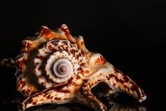 Spiralt snigelskal för hav Royaltyfria Bilder