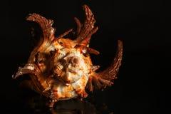 Spiralt snigelskal för hav Arkivbilder