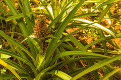 Spirande ananas Royaltyfri Bild