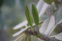 Spirande blad som är kommande ut från träd Arkivbilder