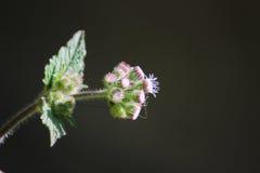 Spirande blomma Arkivbilder