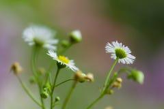 Spirande blommor för vit tusensköna Arkivfoton