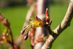 Spirande filial på körsbärsrött träd Royaltyfri Foto