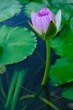 spirande lotusblomma royaltyfri foto