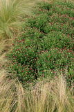 Spirande mumväxter stoppade in i högt gräs Fotografering för Bildbyråer