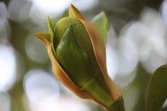 Spirande stålarfrukt från dess kronblad Royaltyfri Fotografi