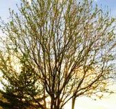 Spirande träd Royaltyfria Bilder